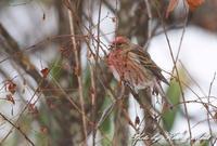 「オオマシコ」さん三昧(*^^*) - ケンケン&ミントの鳥撮りLifeⅡ