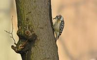 保存林のコゲラ Japanese Pygmy Woodpecker - 素人写人 雑草フォト爺のブログ