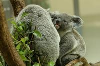 僕はコアラの赤ちゃん(寝ぼけまなこのニシチ) - 旅プラスの日記