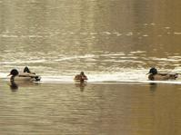 冬の水鳥たち - park diary