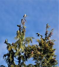 Common Crossbill - AVES