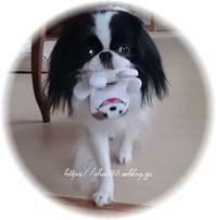 犬飼いの悩み☆おもちゃに固執☆朝方の吐き気 - 狆の茶々丸