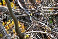 黄色い眉と冠羽が目立つミヤマン - なんでもブログ2