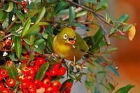 長い舌を出しながら赤い実を食べるメジロ - なんでもブログ2