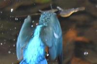 カワセミの大好物・・・ヤマトヌマエビ捕食 - 阪南カワセミ【野鳥と自然の物語】