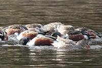 12月6日 ため池のカモ - くろせの鳥