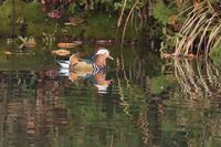 オシドリ - くろせの鳥