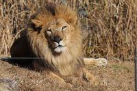 千葉市動物公園2020年1月3日ライオン - お散歩ふぉと2
