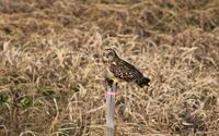 コミミズクその10(餌隠し&飛翔) - 私の鳥撮り散歩
