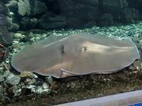 巨大淡水エイ「ヒマンチュラ・チャオプラヤ」と東京タワー水族館からやって来た魚たち(板橋区立熱帯環境植物館) - 続々・動物園ありマス。