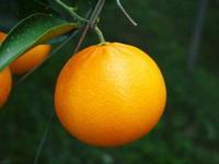 究極の柑橘「せとか」令和2年も出荷は2月中旬より!収穫まで1ヶ月前の様子を現地取材(前編) - FLCパートナーズストア