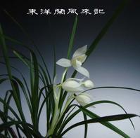 白馬雪山No.2003 - 東洋蘭風来記奥部屋