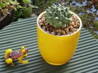 金平糖のような形のサボテン「エルサム」 - あるまじろの庭