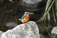 カワセミ・・石の上で - 阪南カワセミ【野鳥と自然の物語】
