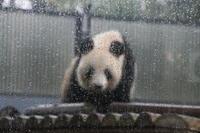 雨の中で哀しげに見えるシンシン♀ - 山とPANDA