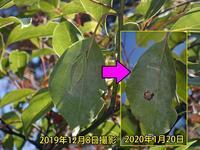 アオスジアゲハの越冬蛹捕食される - 秩父の蝶