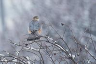 小雪の舞う中......コチョウゲンボウ - 新 鳥さんと遊ぼう