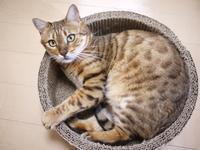 猫のお留守番 スミエちゃん編。 - ゆきねこ猫家族