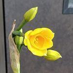 黄色い水仙 - うまこの天袋