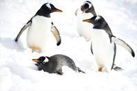 ペンギンの雪中散歩 - 北国の花鳥風月