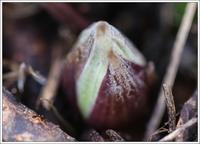 1月も後僅か、蕗の薹も膨らんで - 気ままにデジカメ散歩