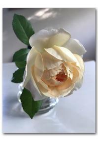 自分のため、家族のために - 雪割草 - Primula modesta -