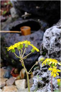 ツワブキの花 - HIGEMASA's Moody Photo