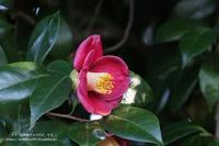 椿の花が咲きだしていた(*^-^*) - 自然のキャンバス