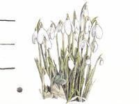 春を告げるスノードロップがじゅうたんのように咲いています - ブルーベルの森-ブログ-英国のハンドメイド陶器と雑貨の通販