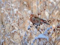 雪とオオマシコたち(1)(燦爛編) - トドの野鳥日記