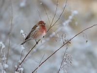 雪とオオマシコたち(2)(枝先編) - トドの野鳥日記