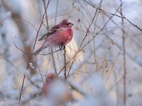 雪とオオマシコたち(3)(雄成鳥編) - トドの野鳥日記