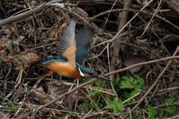カワセミ・・ポイント近くで3羽確認 - 阪南カワセミ【野鳥と自然の物語】