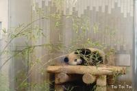 上野動物園パンダ -  Toi Toi Toi ~しあわせのおまじない~