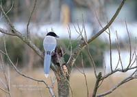 オナガには、各地でカッコウによる托卵が見られる。 - THE LIFE OF BIRDS ー 野鳥つれづれ記