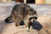 冬の井の頭:アライグマ「クロ」とカモシカップル~さよなら「もも」さん - 続々・動物園ありマス。