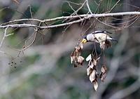 イカルの惚け顔、可愛ェェ (*^-^*) - THE LIFE OF BIRDS ー 野鳥つれづれ記