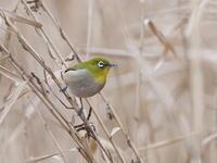 アシ原にメジロが来た - コーヒー党の野鳥と自然パート3