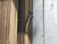 20200125 【自然】アゲハチョウの蛹 - 杉本敏宏のつれづれなるままに