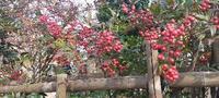 20200125 【植物】ナンテン紅白 - 杉本敏宏のつれづれなるままに