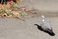初めて見た鳥:モリバト(森鳩) - 世話要らずの庭