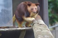 走って出てくるカンガルー - 動物園へ行こう