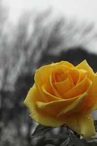 もうお正月も終わり近いのに秋バラが咲いている。@大船フラワーセンター - meの写真はザンス