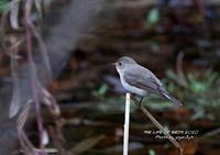 数少ない旅鳥または冬鳥として渡来 - THE LIFE OF BIRDS ー 野鳥つれづれ記