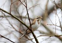 冬鳥として全国に渡来 - THE LIFE OF BIRDS ー 野鳥つれづれ記