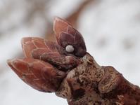 その他のゼフ越冬卵など - 蝶超天国