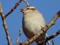 『入内雀(ニュウナイスズメ)と小啄木鳥(コゲラ)と白腹(シロハラ)等を・・・・・』 - 自然風の自然風だより