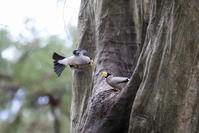 城山跡地の水場のイカル&食事 - 私の鳥撮り散歩