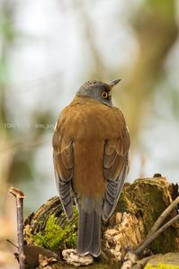 # シロハラ、アカハラ(正反対のふたり) - TORI たどり (小鳥、わんこ、写真 ♥)