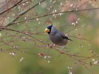 イカル続編 - 『彩の国ピンボケ野鳥写真館』